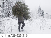 Купить «Рубка елки в лесу. Незаконный лесоруб», фото № 29625316, снято 28 декабря 2018 г. (c) Яковлев Сергей / Фотобанк Лори