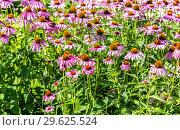 Купить «Pink Echinacea flowers on green nature background close up», фото № 29625524, снято 9 августа 2018 г. (c) FotograFF / Фотобанк Лори