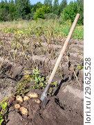 Купить «Freshly dug organic potatoes and shovel in the soil», фото № 29625528, снято 24 августа 2018 г. (c) FotograFF / Фотобанк Лори