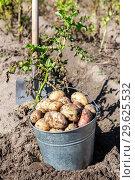 Купить «Freshly dug organic potatoes and shovel in the soil», фото № 29625532, снято 24 августа 2018 г. (c) FotograFF / Фотобанк Лори