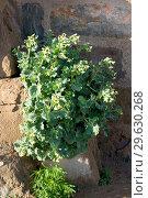 White henbane (Hyoscyamus albus) is a perennial poisonous herb native to Mediterranean Basin. This photo was taken in La Segarra, Lleida province, Catalonia, Spain. Стоковое фото, фотограф J M Barres / age Fotostock / Фотобанк Лори