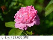Английская кустарниковая роза Мэри Роуз (лат. Mary Rose), David Austin. Стоковое фото, фотограф lana1501 / Фотобанк Лори