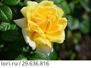 Купить «Роза чайно-гибридная Вандэ Глоб (лат. Vendee Globe), Francois Dorieux II (France, 2000), LAPERRIERE», эксклюзивное фото № 29636816, снято 14 июля 2015 г. (c) lana1501 / Фотобанк Лори