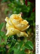 Купить «Роза чайно-гибридная Мишель Фюген (лат. Michel Fugain), Guillot 2010», эксклюзивное фото № 29640708, снято 15 июля 2015 г. (c) lana1501 / Фотобанк Лори