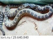 Купить «Поцелуй двух гремучих змей. Southern Pacific Rattlesnake.», фото № 29640840, снято 27 февраля 2016 г. (c) Галина Савина / Фотобанк Лори