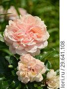 Роза флорибунда Жуа Де Вив (Rosa Joie de Vivre), Kordes (Германия), 2007. Стоковое фото, фотограф lana1501 / Фотобанк Лори