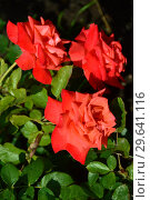 Роза чайно-гибридная Бьюти Стар (Beauty Star), Fryer's Roses, 1990. Стоковое фото, фотограф lana1501 / Фотобанк Лори