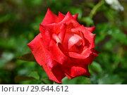 Роза чайно-гибридная Бьюти Стар (Rosa Beauty Star), Fryer's Roses, Великобритания 1990. Стоковое фото, фотограф lana1501 / Фотобанк Лори