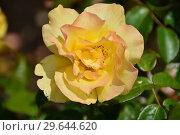 Купить «Роза чайно-гибридная Кип Смайлинг (лат. Rosa Keep Smiling), Fryer's Roses, Англия, 2004», эксклюзивное фото № 29644620, снято 15 июля 2015 г. (c) lana1501 / Фотобанк Лори