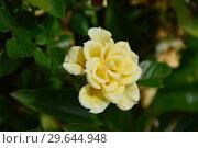 Купить «Миниатюрная роза патио Флауэ Паулэ Голд (Флауэр Пауэр Голд) (лат. Rosa Flower Power Gold). Fryer Англия, 2008», эксклюзивное фото № 29644948, снято 15 июля 2015 г. (c) lana1501 / Фотобанк Лори