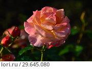 Купить «Роза чайно-гибридная Британия (Britannia), Fryer's Roses, 1998», эксклюзивное фото № 29645080, снято 13 июля 2015 г. (c) lana1501 / Фотобанк Лори