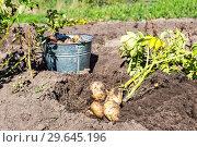 Купить «Freshly dug organic potatoes at the vegetable garden», фото № 29645196, снято 24 августа 2018 г. (c) FotograFF / Фотобанк Лори