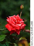 Купить «Алая чайно-гибридная роза Бьюти Стар (лат. Rosa Beauty Star), Fryer's Roses, 1990», эксклюзивное фото № 29645248, снято 27 июля 2015 г. (c) lana1501 / Фотобанк Лори