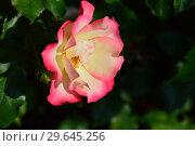 Купить «Роза флорибунда Окки ди Фата (Глаза Феи) (Rosa Occhi di Fata), Barni Италия, 2004», эксклюзивное фото № 29645256, снято 27 июля 2015 г. (c) lana1501 / Фотобанк Лори