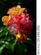 Роза флорибунда Солей дю Монд (Soleil du Monde, delseb), Delbard 2007. Стоковое фото, фотограф lana1501 / Фотобанк Лори