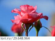 Купить «Роза чайно-гибридная Артур Рембо (Rosa Arthur Rimbaud), Meilland International, Франция 2008», эксклюзивное фото № 29648964, снято 21 июля 2015 г. (c) lana1501 / Фотобанк Лори