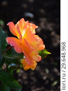 Роза флорибунда Солей дю Монд (лат. Soleil du Monde, delseb), Delbard France, 2007. Стоковое фото, фотограф lana1501 / Фотобанк Лори