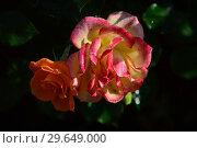 Купить «Роза кустарниковая Мериголд Свит Дрим (Rosa Marigold Sweet Dream), Gareth Fryer Roses, Великобритания 2010», эксклюзивное фото № 29649000, снято 21 июля 2015 г. (c) lana1501 / Фотобанк Лори
