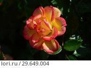 Купить «Роза кустарниковая Мериголд Свит Дрим (лат. Marigold Sweet Dream), Fryer, Великобритания 2010», эксклюзивное фото № 29649004, снято 21 июля 2015 г. (c) lana1501 / Фотобанк Лори
