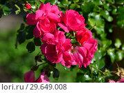 Купить «Роза кустарниковая Эмера (лат. Emera). Laperriere Франция, Noak 1989», эксклюзивное фото № 29649008, снято 21 июля 2015 г. (c) lana1501 / Фотобанк Лори