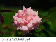 Купить «Роза чайно-гибридная Сент-Сэйшн (Сцент-Сейшн, Сент-Сэйши) (лат. Scent-Sation), Fryers Roses, Англия 1998», эксклюзивное фото № 29649024, снято 23 июля 2015 г. (c) lana1501 / Фотобанк Лори