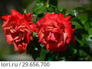 Купить «Роза чайно-гибридная Ремембэ Ми (Римембер Ми) (лат. Rosa Remember Me), Cocker, Великобритания, 1984», эксклюзивное фото № 29656700, снято 23 июля 2015 г. (c) lana1501 / Фотобанк Лори
