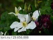 Крупноцветковой клематис Мария Байселот (лат. Marie Boisselot) Стоковое фото, фотограф lana1501 / Фотобанк Лори