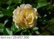 Купить «Роза флорибунда Абсолютлей Фабулос (Абсолютли Фабулос) (Absolutly Fabulous), Harkness Roses, Великобритания, 2004», эксклюзивное фото № 29657300, снято 23 июля 2015 г. (c) lana1501 / Фотобанк Лори