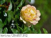 Купить «Роза флорибунда Абсолютлей Фабулос (Rosa Absolutly Fabulous), Harkness Roses, Великобритания 2004», эксклюзивное фото № 29657312, снято 23 июля 2015 г. (c) lana1501 / Фотобанк Лори