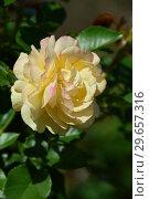 Купить «Роза флорибунда Абсолютлей Фабулос (Absolutly Fabulous), Harkness Roses, Великобритания 2004», эксклюзивное фото № 29657316, снято 23 июля 2015 г. (c) lana1501 / Фотобанк Лори