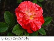Купить «Роза флорибунда Хэнки Пэнки (Rosa Hanky Panky), Tom Carruth (США) 2004, C&K Jones», эксклюзивное фото № 29657516, снято 23 июля 2015 г. (c) lana1501 / Фотобанк Лори