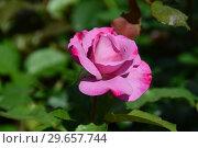 Купить «Цветок чайно-гибридной розы Муди Блю (лат. Rosa Moody Blue), Fryer's Roses, Великобритания 2008», эксклюзивное фото № 29657744, снято 23 июля 2015 г. (c) lana1501 / Фотобанк Лори