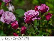 Купить «Чайно-гибридная роза Муди Блю (лат. Rosa Moody Blue), Fryers Roses, Великобритания 2008», эксклюзивное фото № 29657748, снято 23 июля 2015 г. (c) lana1501 / Фотобанк Лори