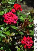 Роза чайно-гибридная Вэлвет Фрэйгрэнс (Вельвет Фрагранс) (лат. Rosa Velvet Fragrance), Fryer's Roses, Англия 1988. Стоковое фото, фотограф lana1501 / Фотобанк Лори