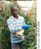 Купить «Farmer gathering in crops of tomatoes», фото № 29659204, снято 16 августа 2018 г. (c) Яков Филимонов / Фотобанк Лори