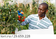 Купить «Farmer gathering in crops of tomatoes», фото № 29659228, снято 16 августа 2018 г. (c) Яков Филимонов / Фотобанк Лори