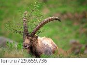 Купить «Ibex (Capra ibex) exemplary male rubbing on a small tree in the National park Gran Paradiso. Italy.», фото № 29659736, снято 8 июня 2018 г. (c) age Fotostock / Фотобанк Лори