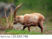 Купить «Ibex (Capra ibex) exemplary male rubbing on a small tree in the National park Gran Paradiso. Italy.», фото № 29659748, снято 8 июня 2018 г. (c) age Fotostock / Фотобанк Лори