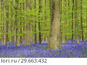 Купить «Bluebell flowers (Hyacinthoides non-scripta) carpet hardwood beech forest in early spring. Halle, Hallerbos, Brussels, Vlaanderen (Flanders), Belgium, Europe.», фото № 29663432, снято 27 апреля 2015 г. (c) age Fotostock / Фотобанк Лори