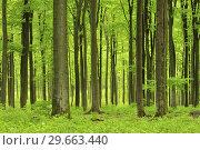 Купить «Vital green forest in spring. Westerwald, Rhineland-Palatinate, Germany.», фото № 29663440, снято 28 апреля 2015 г. (c) age Fotostock / Фотобанк Лори