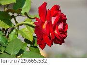 Купить «Темно-красный цветок чайно-гибридной розы Биколетт (лат. Rosa Bicolette). Ernest Tschanz, Швейцария 1980», эксклюзивное фото № 29665532, снято 27 июля 2015 г. (c) lana1501 / Фотобанк Лори