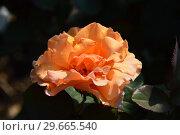 Купить «Роза чайно-гибридная Ол Йорс (WEKwestypla) (лат. All Yours). Tom Carruth, C&K Jones, США 2011», эксклюзивное фото № 29665540, снято 27 июля 2015 г. (c) lana1501 / Фотобанк Лори