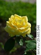 Купить «Роза чайно-гибридная Бернард Хино (Bernard Hinault). Laperriere, Франция 2009», эксклюзивное фото № 29665544, снято 27 июля 2015 г. (c) lana1501 / Фотобанк Лори