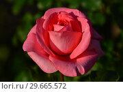 Купить «Роза чайно-гибридная Артур Рембо (Rosa Arthur Rimbaud), Meilland International, France 2008», эксклюзивное фото № 29665572, снято 24 июля 2015 г. (c) lana1501 / Фотобанк Лори
