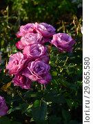 Купить «Бокаловидные цветы чайно-гибридной розы Муди Блю (Rosa Moody Blue), Fryer's Roses, Великобритания 2008», эксклюзивное фото № 29665580, снято 24 июля 2015 г. (c) lana1501 / Фотобанк Лори