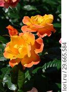 Роза полиантовая Солей дю Монд (Soleil du Monde), Delbard France, 2001. Стоковое фото, фотограф lana1501 / Фотобанк Лори