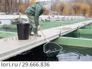 Купить «Woman catching fish with landing net on sturgeon farm», фото № 29666836, снято 4 февраля 2018 г. (c) Яков Филимонов / Фотобанк Лори
