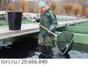 Woman standing in fish tank catching fish on farm. Стоковое фото, фотограф Яков Филимонов / Фотобанк Лори