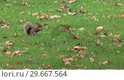 Купить «Squirrel in a Park», видеоролик № 29667564, снято 20 июня 2019 г. (c) Wavebreak Media / Фотобанк Лори