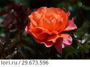 Купить «Роза чайно-гибридная Джекс Виш (лат. Rosa Jack's Wish (Kirsil), C&K Jones. Gordon Kirkham, Великобритания, 2003», эксклюзивное фото № 29673596, снято 23 июля 2015 г. (c) lana1501 / Фотобанк Лори